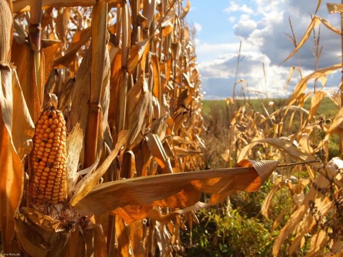 Apám kukoricafosztója