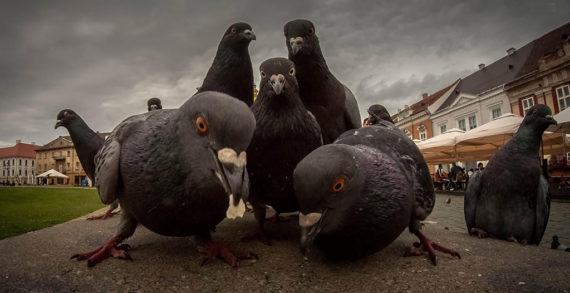 A Fater és a galambok