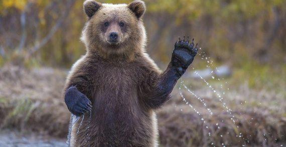 Tragikus történések a medvefarmon
